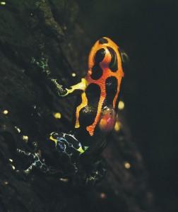Peruu vihmametsades elav kollase-mustakirju konnake Ranitomeya imitator on üks vähestest, kui mitte ainuke, sotsiaalset ja geneetilist monogaamiat harrastav kahepaikne.