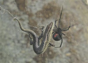 Emane punaselg-ämblik püütud sisalikuga.