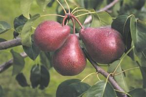 Polli uutest pirnisortidest kuulub soovitusnimistusse ka magusa viljalihaga 'Kadi', mis saab söögikõlblikuks augustis.