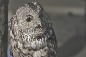 Näituse vanima, kodukaku topise kohta on teada, et lind on leitud 1914. aastal Läänemaalt.