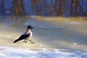 Kõige intelligentsemaks peetud linnud varesed mitte ainult ei pööra suurt tähelepanu surnud kaaslastele, vaid uurivad põhjalikult ka nende surmaga seotud asjaolusid ning jätavad need endale meelde. Inimest, keda on nähtud surnud varesega, umbusaldavad teised varesed veel kuid ja aastaid.