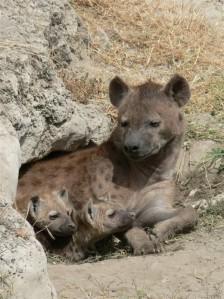 Vabatahtlik vennatapp esineb vähemalt ühel imetajaliigil – tähnikhüäänil. Hiljutine uuring viitab siiski, et vennatapp ei ole hüäänide seas nii levinud, nagu varem arvati, ning leiab aset pigem siis, kui vanem tõesti ei suuda mõlemat poega toita.  Pildil tähnikhüäänid Ngorongoro kaitsealal Tansaanias.