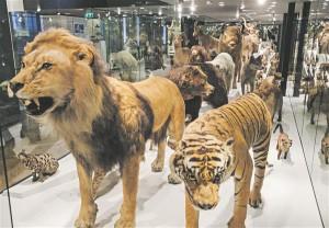 Enamik topiseid (paljud neist on sada aastat vanad) on TÜ loodusmuuseumi püsiekspositsioonis pärast  kohendamist taas oma koha sisse võtnud.