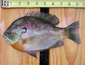 """Uus eestikeelne nimetus:  tänu artikli autori päringule, mis võiks olla Lepomis macrochirus'e eestikeelne vaste, pakkus kalade nomenklatuuri komisjon ametlikuks liigi nimetuseks välja """"sinilõpuseline päikeseahven"""".  Iseloomulik  tunnus, mille järgi seda päikeseahvenat teistes keeltes nimetatakse, on tumesinine kõrvakujuline lõpuskaane väljakasv (blue gill või blue ear)."""