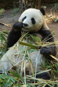 Pandad on tuntud oma äärmiselt vähese sugutungi poolest ning on osaliselt seetõttu suures väljasuremisohus. Pildil emane panda Bai Yun San Diego loomaaias Californias. Bai Yun on vangistuse saanud juba viie pandapoja emaks.