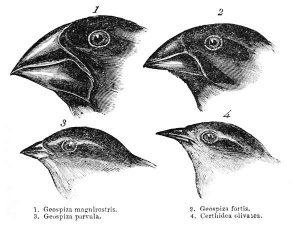 """Darwini ehk Galápagose vindid. 1835. aastal Galápagose saari külastanud Charles Darwin tuli sealseid linde uurides liikide tekke teooria ideele. Darwin oletas, et kõik saartel pesitsevad linnud põlvnevad ühest eellasliigist. Liigid erinevad märgatavalt noka suuruse poolest, vastavalt söövad nad ka erinevat toitu. Pilt Darwini raamatu """"Loodusuurija reis ümber maailma purjekal Beagle"""" (""""Voyage of the Beagle"""" II trükist 1845, eesti keeles 1949)."""
