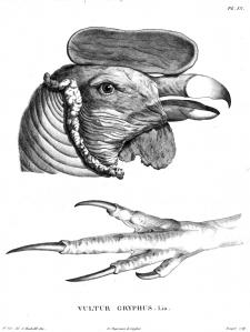 Andi kondor ehk kaeluskondor (Vulturgryphus). Alexander vonHumboldti joonistus.