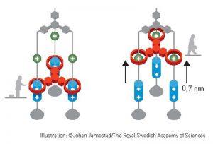"""Feringa sünteesis molekulaarmasinaid ja nende detaile, nagu mootorid, rootorid, """"lihased"""", tõstukid. Pildil molekulaarne lift."""